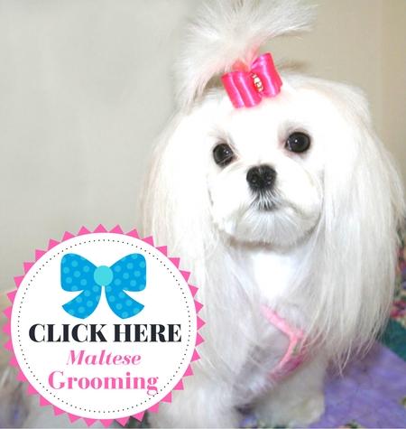Maltese Grooming Haircuts